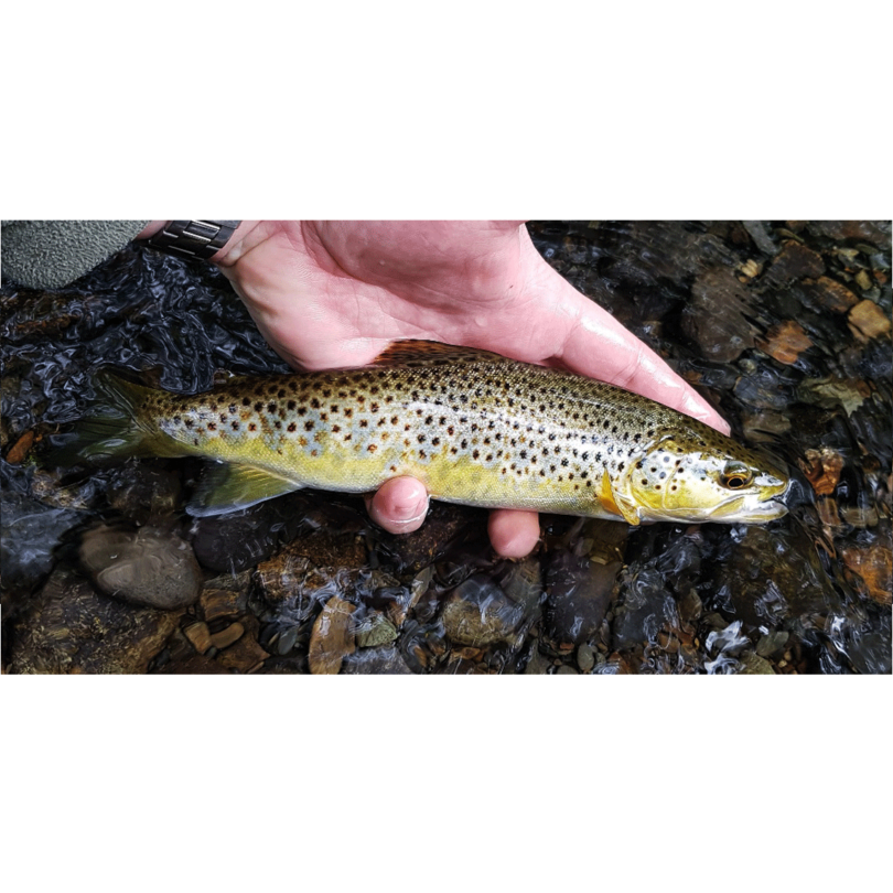 Wild Brown Trout caught on French Nymph Leader